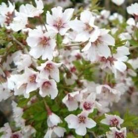 Prunus incisa Kojou-no-mai (třešeň dřípená)