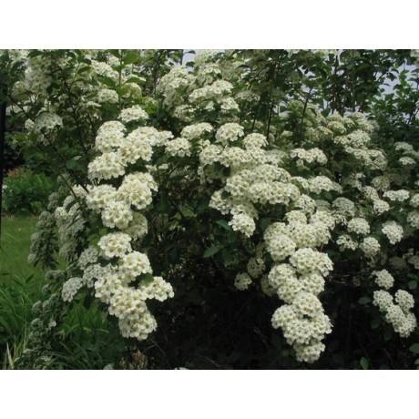 Spiraea ×vanhouttei (tavolník van Houtteův)