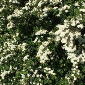 Spiraea nipponica Snowmound (tavolník niponský)