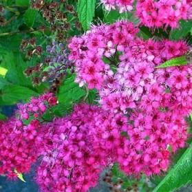 Spiraea x bumalda Dart's Red (tavolník Bumaldův)