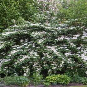 Viburnum plicatum Mariesii (kalina japonská)