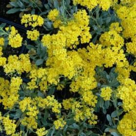 Alyssum saxatile Goldkugel (tařice skalní)