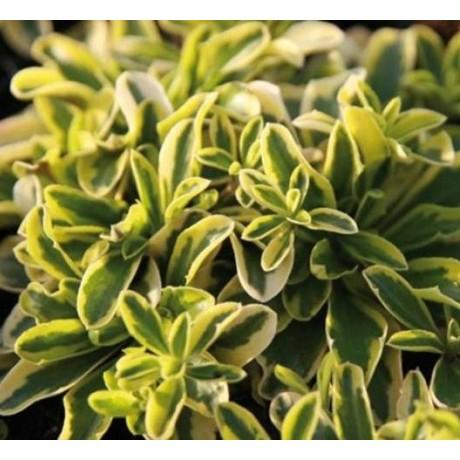 Arabis ferdinandi-coburgi Old Gold (huseník)