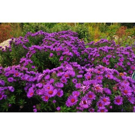 Aster novae-angliae Purple Dome (hvězdnice novoanglická)