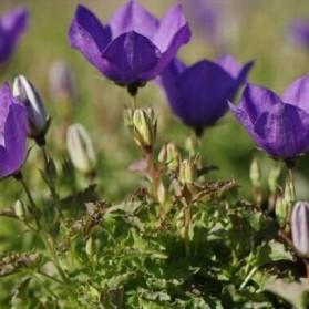 Campanula carpatica Blue Clips (zvonek karpatský)