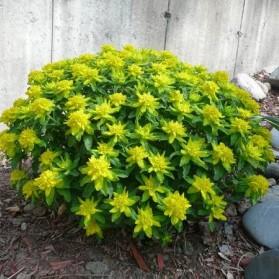 Euphorbia polychroma (pryšec mnohobarvý)