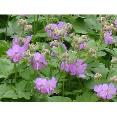 Geranium x cantabrigiense Karmina (kakost)