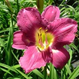 Hemerocallis Chicago Royal Robe (denivka)