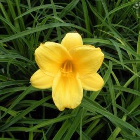 Hemerocallis Mini Stella (denivka)