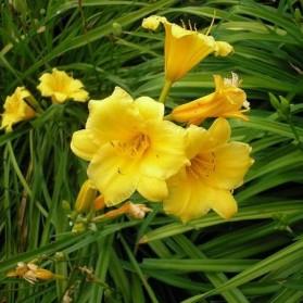 Hemerocallis Stella de Oro (denivka)