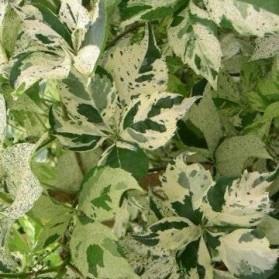Parthenocissus quinquefolia Silver Shower (přísavník pětilistý)