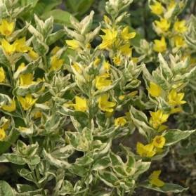Lysimachia punctata Alexander (vrbina tečkovaná)