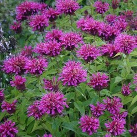 Monarda Purple Knight (zavinutka)