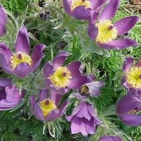 Pulsatilla vulgaris Violette Blue (koniklec)
