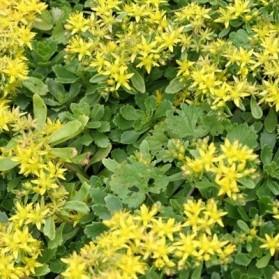 Sedum kamtschaticum Weihenstephaner Gold (rozchodník kamčatský)
