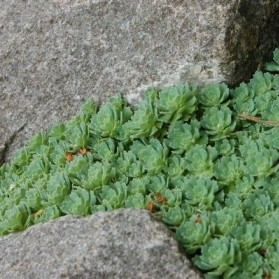 Sedum pachyclados (rozchodník)