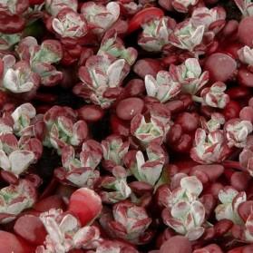 Sedum spathulifolium Purpureum (rozchodník lžičkolistý)