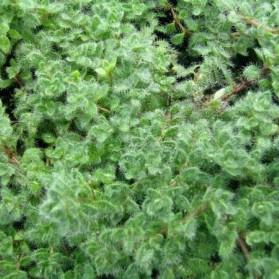 Thymus praecox Pseudolanuginosus (mateřídouška)