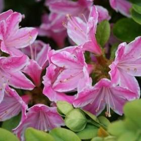 Azalea japonica Kermesina Rosé (japonská azalka)