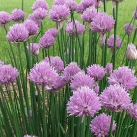 Allium schoenoprasum (pažitka pobřežní)
