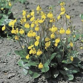 Calceolaria biflora Goldcap (pantoflíček)