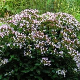 Origanum vulgare Diabolo (dobromysl)