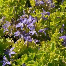 Campanula garganica Dickson's Gold (zvonek garganský)
