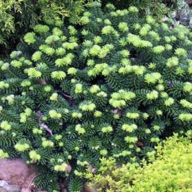 Abies balsamea Piccolo (jedle balzámová)