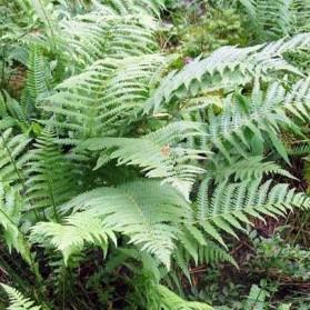 Dryopteris filix–mas (kapraď samec)
