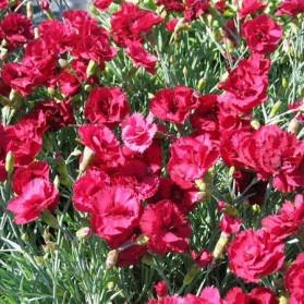 Dianthus x gratianopolitanus Rubin (hvozdík sivý)